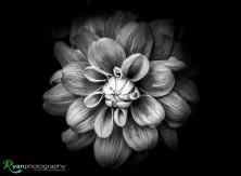 Monochrome Dahlia