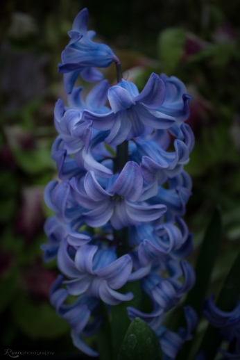 Hyacinth from Hall Place