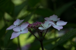 Hydrangea in bud