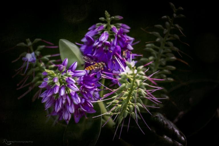 Purple Flowers of Quex