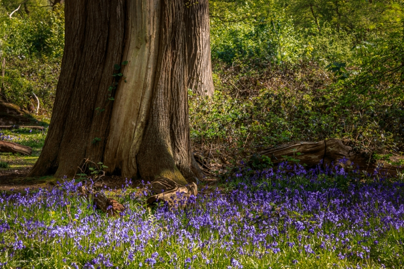 Surrounded by Bluebells