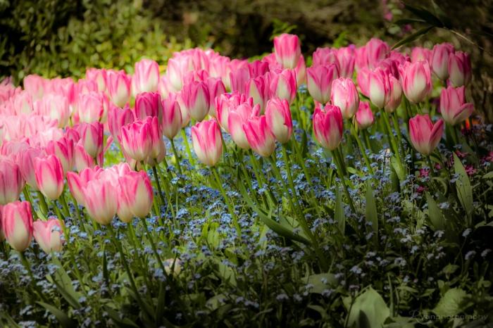 Tulips of Dixter