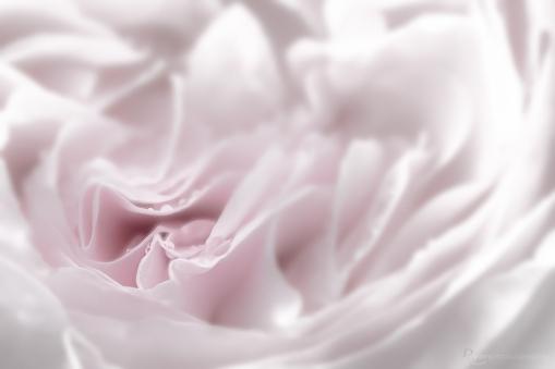 Final Image of Rose