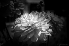 A photograph of a dahlia taken at Lullingstone Castle World Gardens in Kent.
