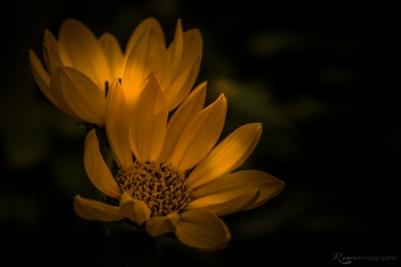 Yellow Flower from Lullingstone Castle
