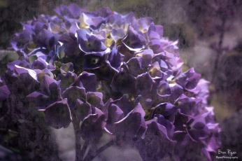 A photograph of a hydrangea bloom processed in Lightroom and Topaz Texture Effects.