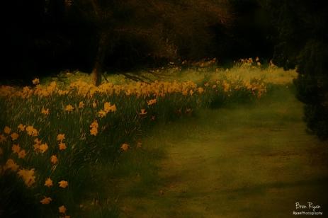 Daffodils at Doddington