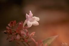 A photograph of a tiny little flower taken at Great Comp Gardens, near Sevenoaks in Kent.