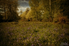 Ashenbank Woods near Cobham Kent.