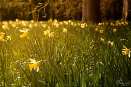 A field of Daffodils at Doddington Place