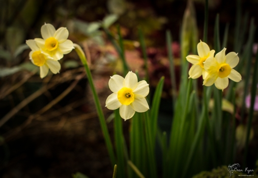 Miniature daffodils taken at Hall Place Greenhouse