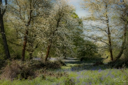 Bluebells and Blossom at Ashenbank Woods