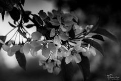 Blossom at Bateman's