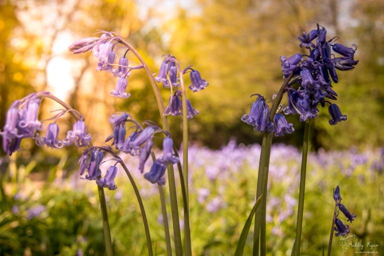 Bluebells of Ashenbank