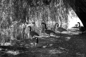 A monochrome photograph of Canadian Geese sitting under a tree at Leeds Castle.
