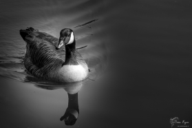 Canadian Goose at Allington Locks