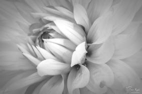 Chrysanthemum taken at Belmont House and Gardens