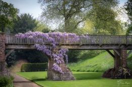 Wisteria on the bridge at Eltham Palace