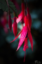 Fuschia from the gardens of Belmont