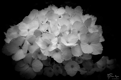 White Hydrangea from the gardens of Beech Court
