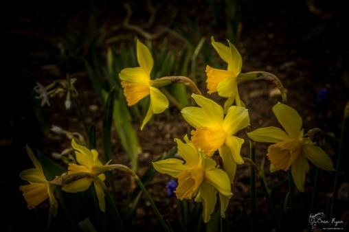 Daffodils of Doddington