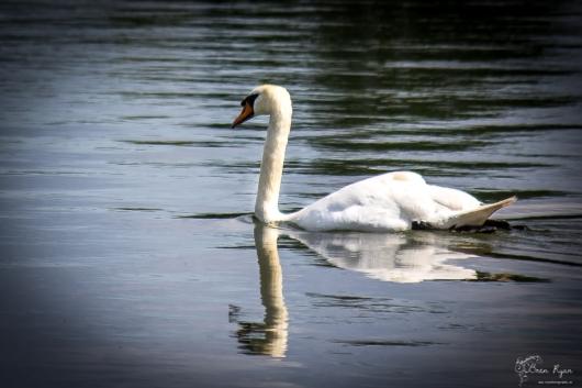 Swan at Leeds Castle