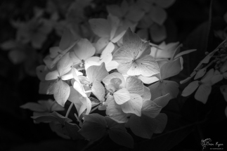 A black and white photograph of a white hydrangea taken at Pashley Manor Gardens in East Sussex.