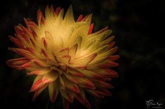 A photograph of a dahlia given an oil paint filter effect.