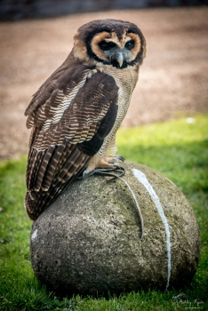 An owl sitting on a rock.