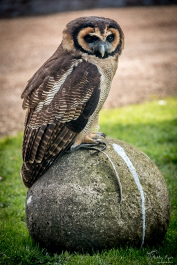 An owl sitting on a rock.