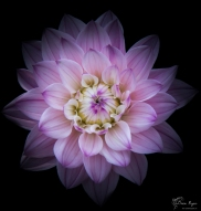 A photograph of a beautiful pink and purple Dahlia
