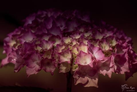 Pink Hydrangea from Beech Court