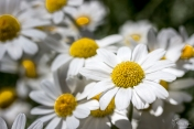 Daisies from Quebec House