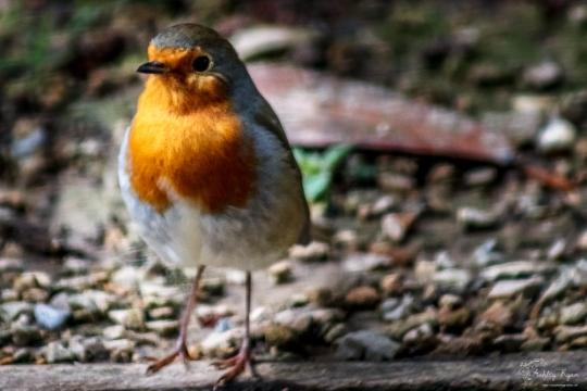 Robin of Sheffield Park Gardens