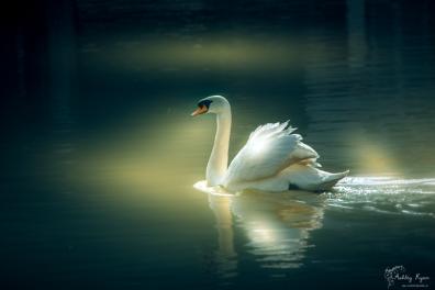 Swan on the River Medway at Allington Locks