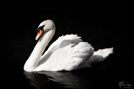 A photograph of a white swan taken at Kearsney Abbey Gardens near Dover in Kent.