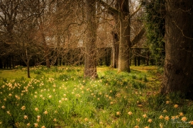 Springtime daffodils at Doddington