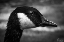 A monochrome photograph of a Canadian Goose at Leeds Castle in Kent.