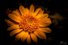 A photograph of a yellow flower taken in the World Gardens at Lullingstone Castle, in Kent.