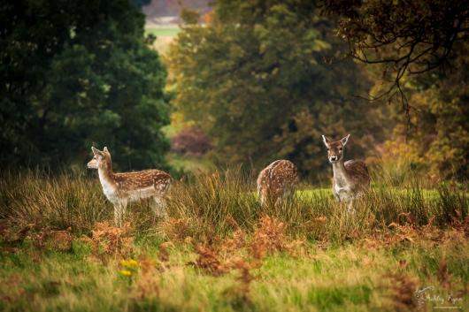 Deer at Knole in Kent