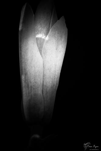 Monochrome photo of a Magnolia bud