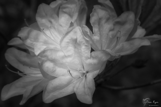 A monochrome photograph of a rhododendron flowering at Hole Park in Rolvenden.