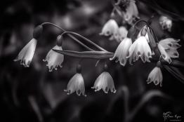 Loddon Lily flowers taken at Hole Park at Rolvenden in Kent.