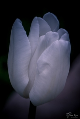 Tulip from Hole Park Rolvenden