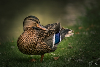 A photograph of a duck taken at Pashley Manor Gardens
