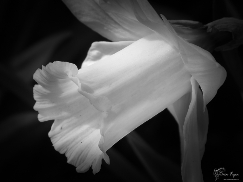A photograph of a daffodil taken at Chartwell