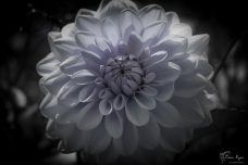 A monochrome photograph of a dahlia with a hint of purple.