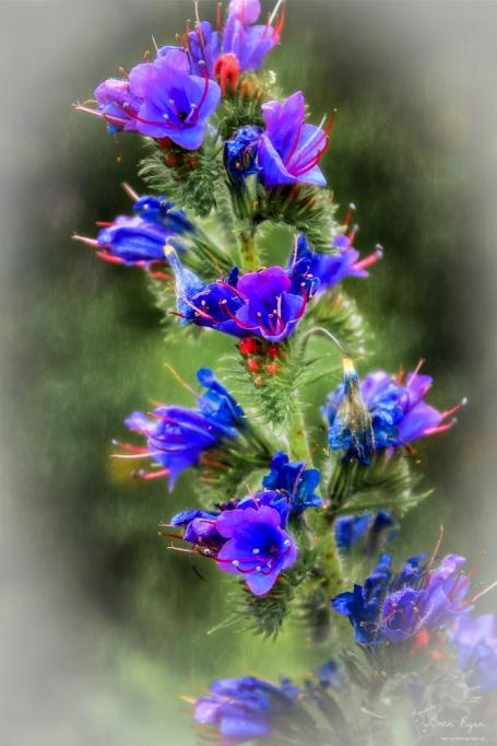 Purple Flower taken at Lullingstone Castle