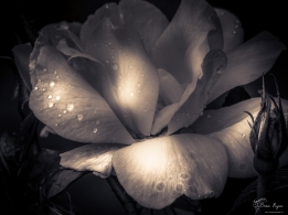 A photograph of a rose taken in the rose garden at Chartwell, Kent - the former home of the late Sir Winston Churchill.