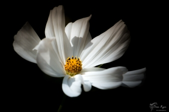 A photograph of a white flower taken at Pashley Manor Gardens in East Sussex